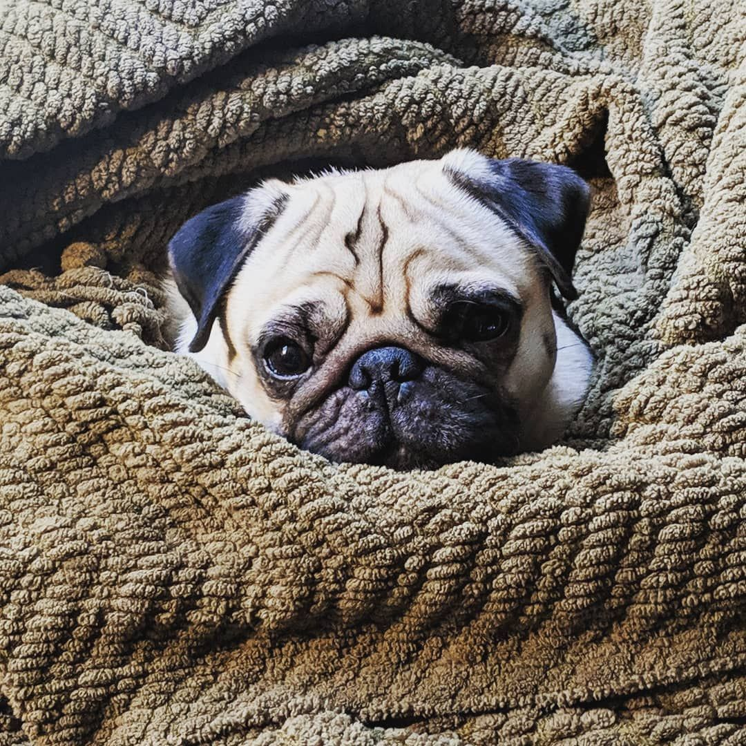 Forget The Husband Love Waking Up To This Face Bertjethepug