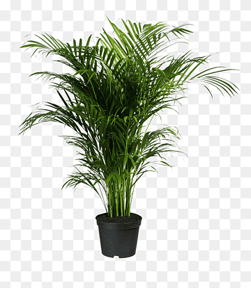 Howea Forsteriana Ravenea Areca Palm Houseplant Potted Plants Green Leafed Plant Grass Plant African Plants Flower Garden Decorations Palm Tree Background
