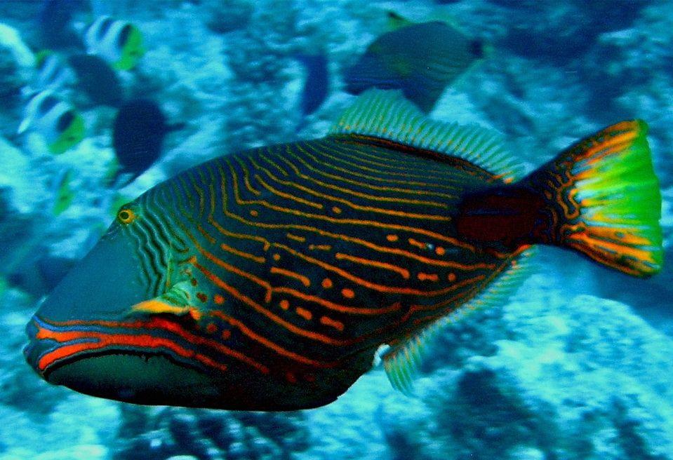 The Orange Lined Triggerfish Saltwater Fish Tanks Marine Fish Marine Animals