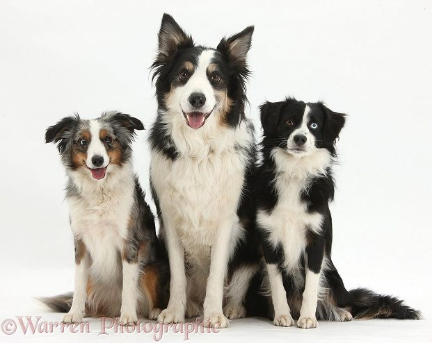 Mini American Shepherds And Border Collie American Shepherd