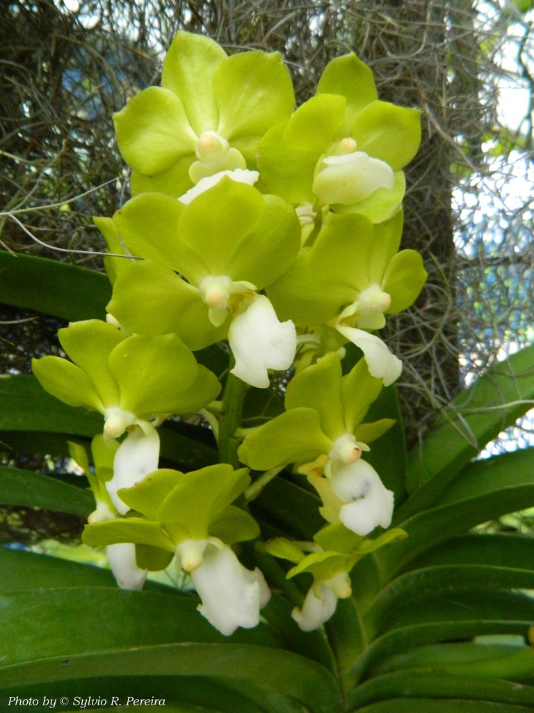 Vanda Denisoniana Green Klairvoyant Orchids Thrissur Kerala India Orchid Flower Orchids Beautiful Orchids