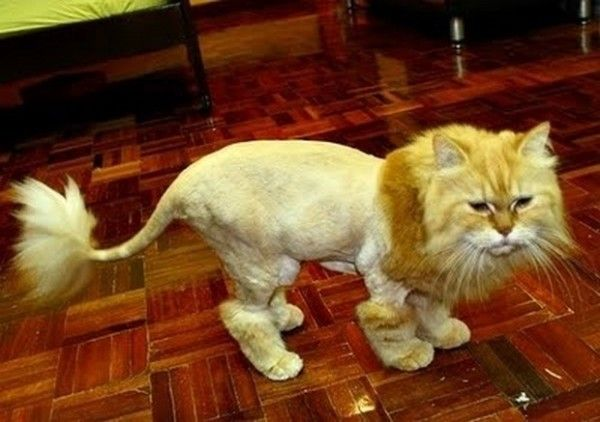 16 cats who seriously hate their stupid haircuts cat grooming 18 unhappy cats that hate their stupid haircuts winobraniefo