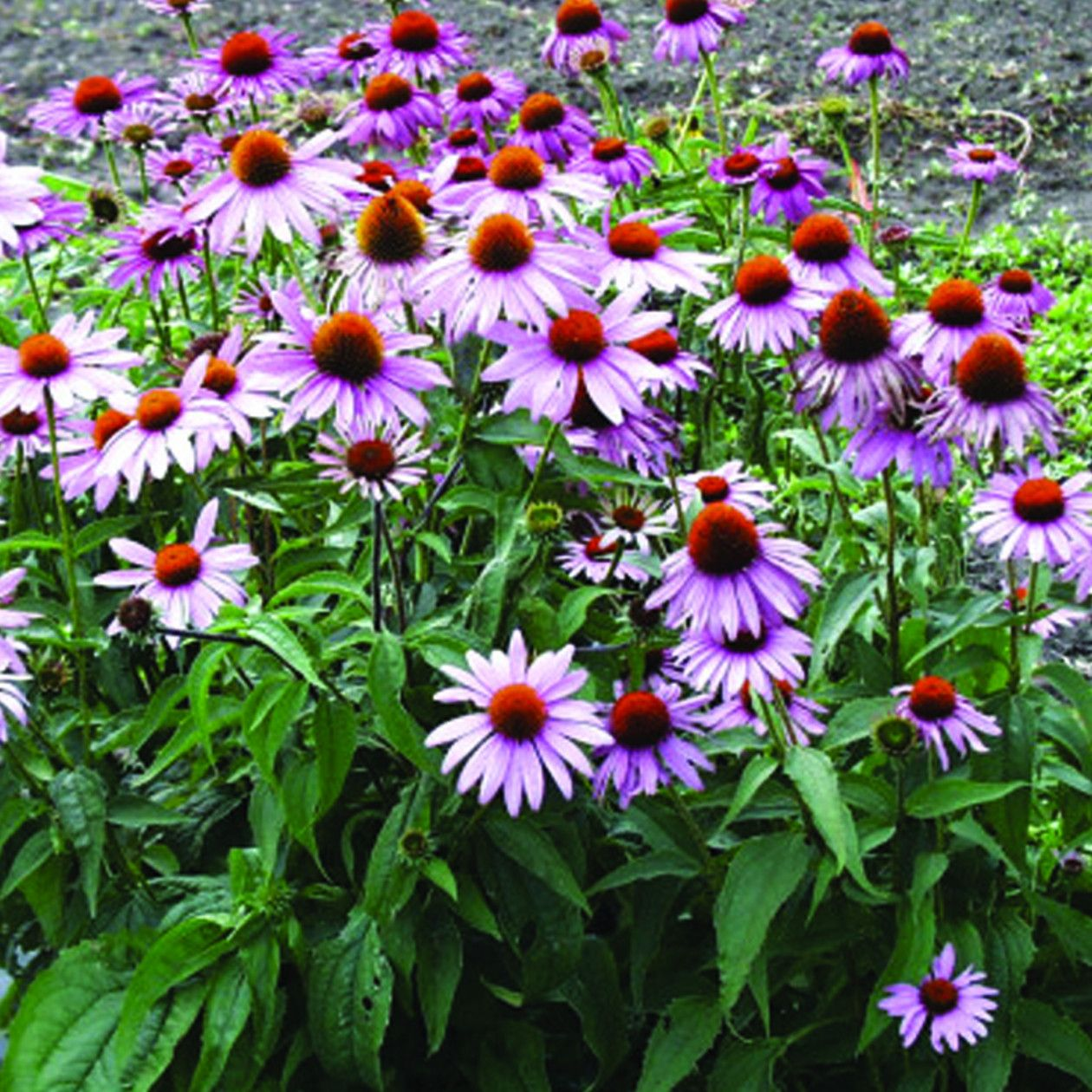 echinacea purpurea our plants of the month for june wedding pinterest google search. Black Bedroom Furniture Sets. Home Design Ideas