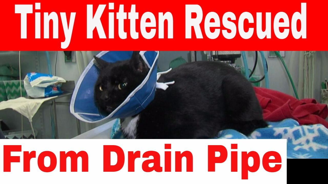 Tiny Kitten Rescued From Drain After Being Trapped For Days Kittens St