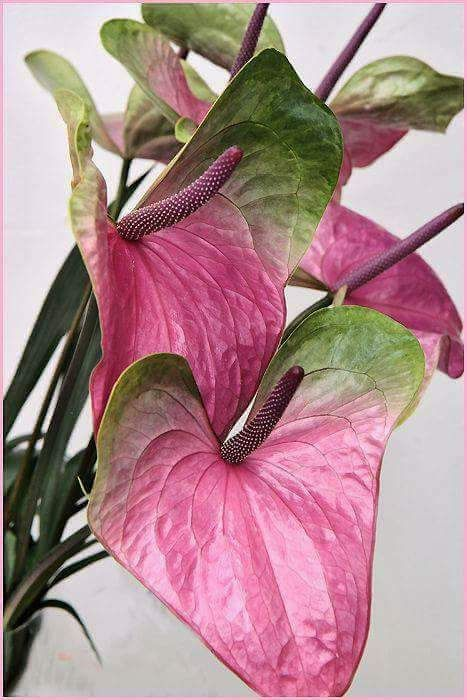Sign In Wonderful Flowers Anthurium Flower Amazing Flowers