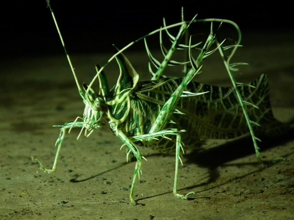 SALTAMONTES CON ESPINOS - PIERCED GRASSHOPPER | Insects and ...