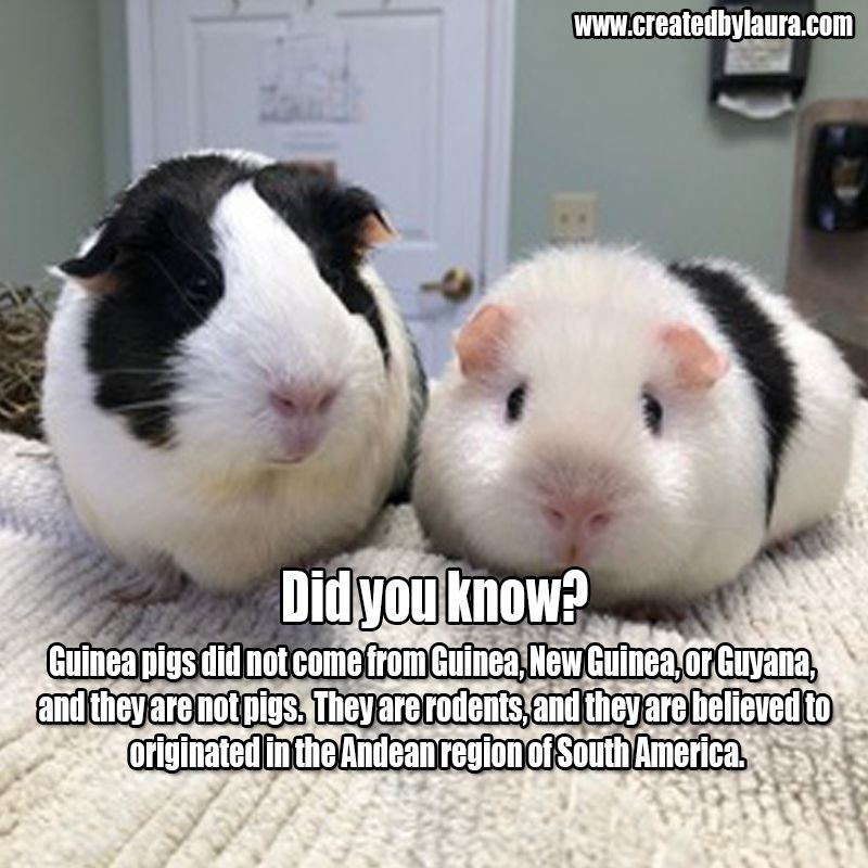 Pin On Guineapig Facts