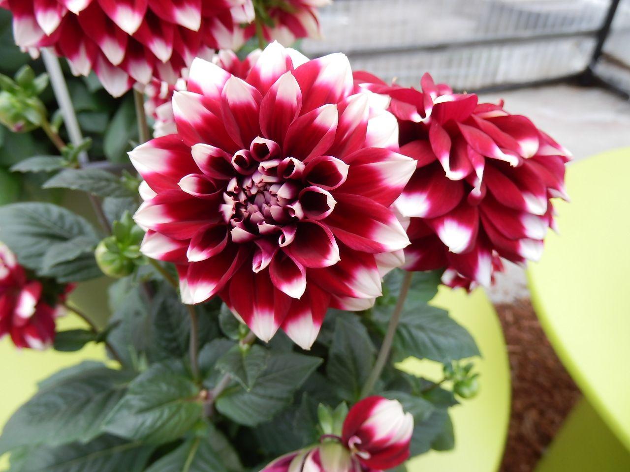 Dahlia Star Sister Crimson Picotee Beautiful Flowers Plant Leaves Flowers