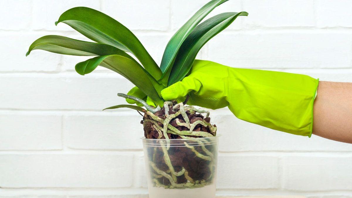 Orchidee Umtopfen