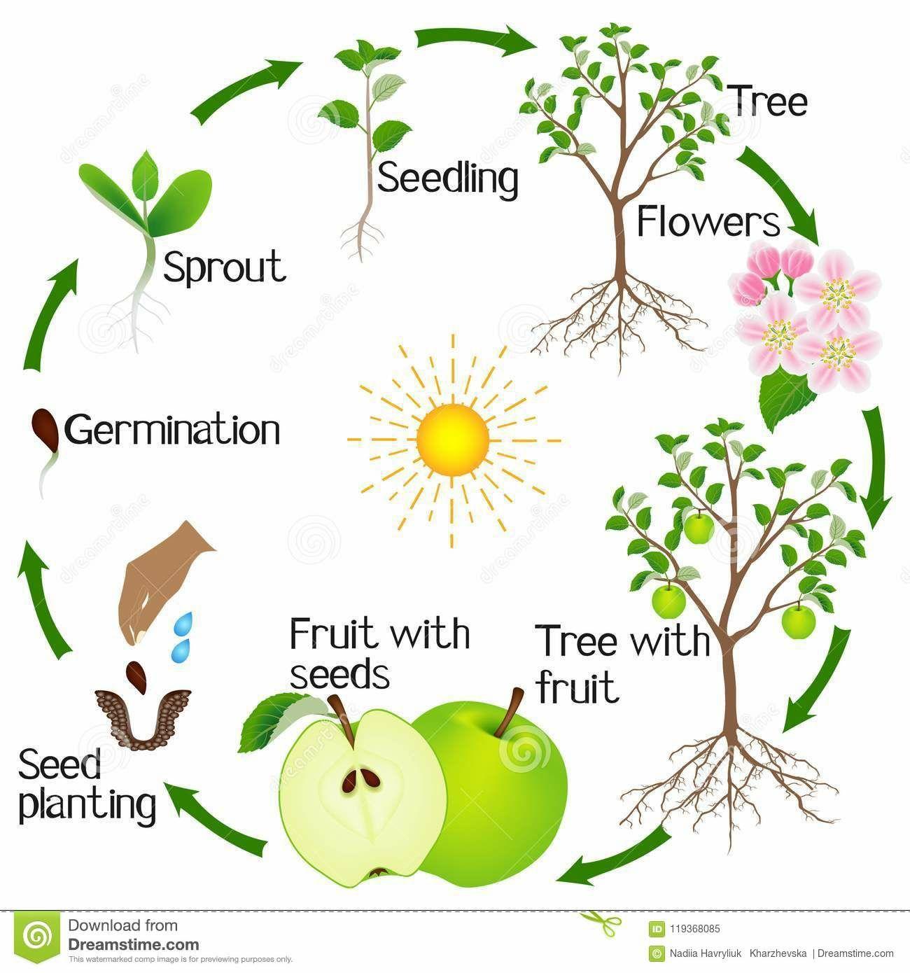 Pin By Shantina O Sullivan On Okul Oncesi Apple Tree Life Cycle Tree Life Cycle Life Cycles [ 1390 x 1300 Pixel ]