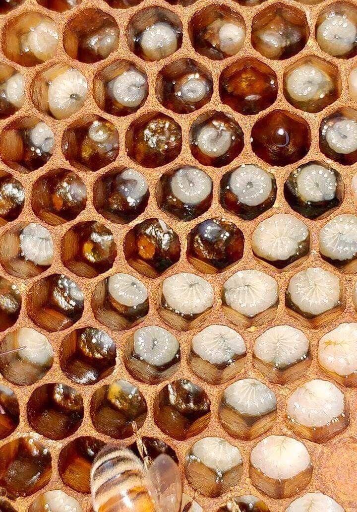 Larvas de abeja   Abejas-Bees/Apicultura-Beekeeping/Miel-Honey ...