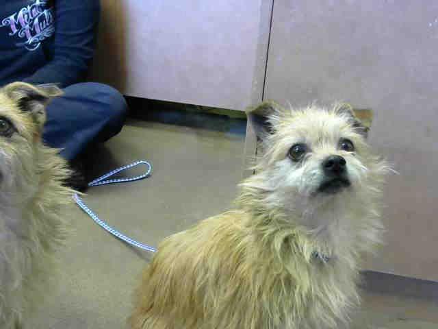 Australian Terrier dog for Adoption in Sacramento, CA. ADN-441115 on PuppyFinder.com Gender: Male. Age: Adult