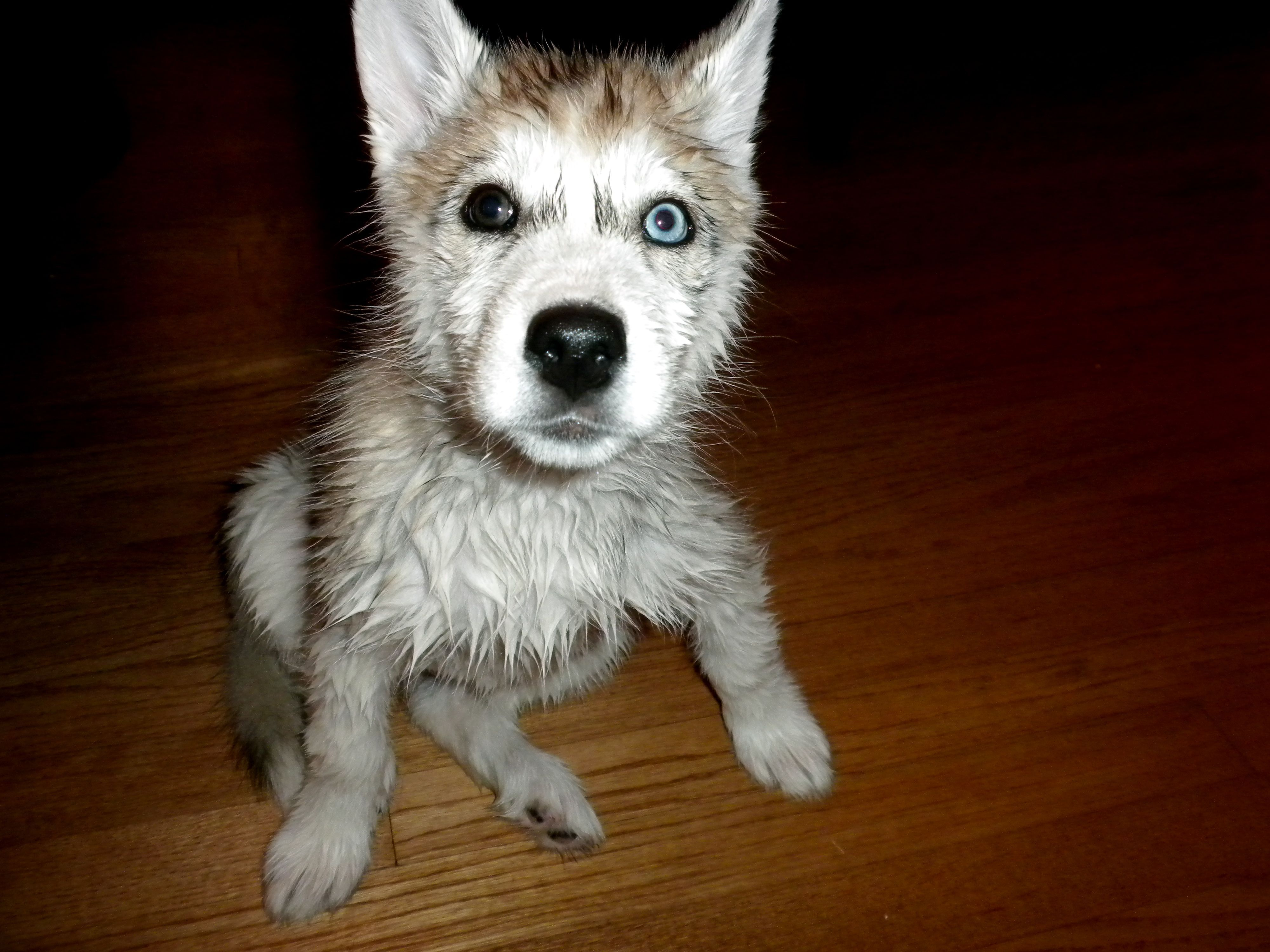 When To Bathe A Husky Puppy References