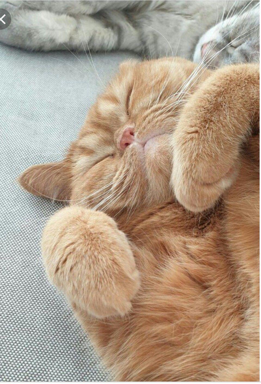 Pin By Pito Jaja On Cream Heroes Cat Has Fleas Cat Lovers Munchkin Cat Scottish Fold