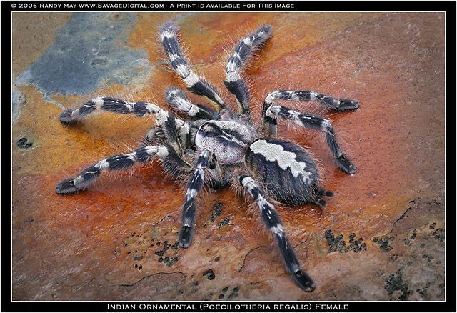 Poecilotheria regalis, the classic \