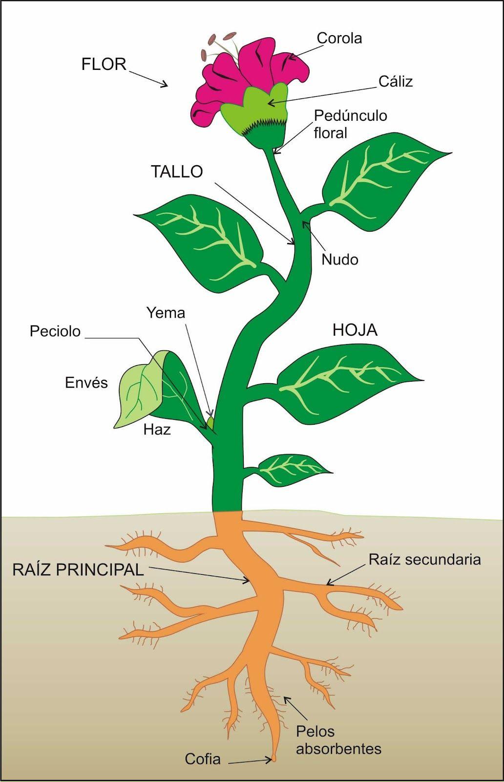 Blog De Los Niños Plantas Aprendiendo Sobre Las Plantas Partes De La Flor Partes De La Planta