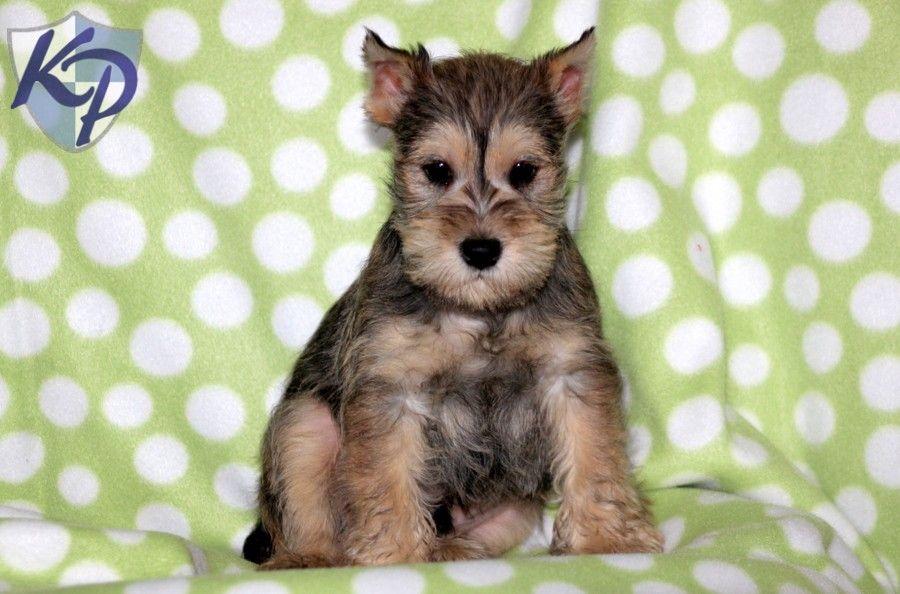 Puppy Finder Find Buy A Dog Today By Using Our Petfinder Mini Schnauzer Puppies Puppy Finder Puppies