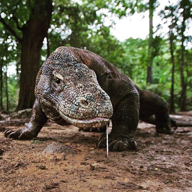 أفتراس On Instagram ماذا تعرف عن حيوان تنين الكومودو الاسم الشائع Komodo Dragon الاسم العلمي Varanus Komodoensis البيئه Komodo Dragon Animals Komodo