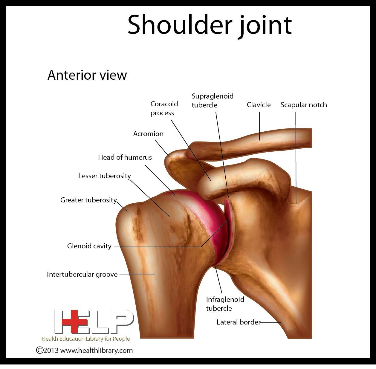 Shoulder Joint