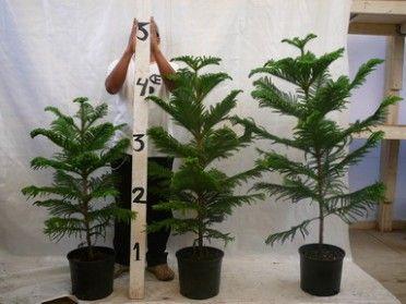 Araucaria Heterophylla U0027Norfolk Island Pine