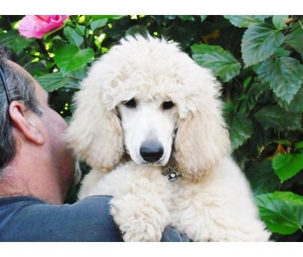 White Female Standard Poodle Puppy For
