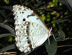 Morpho epistrophus argentinus.JPG
