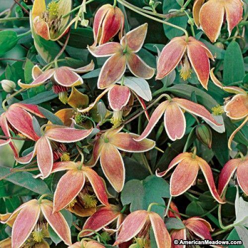 orange and purple clematis my angel clematis vine