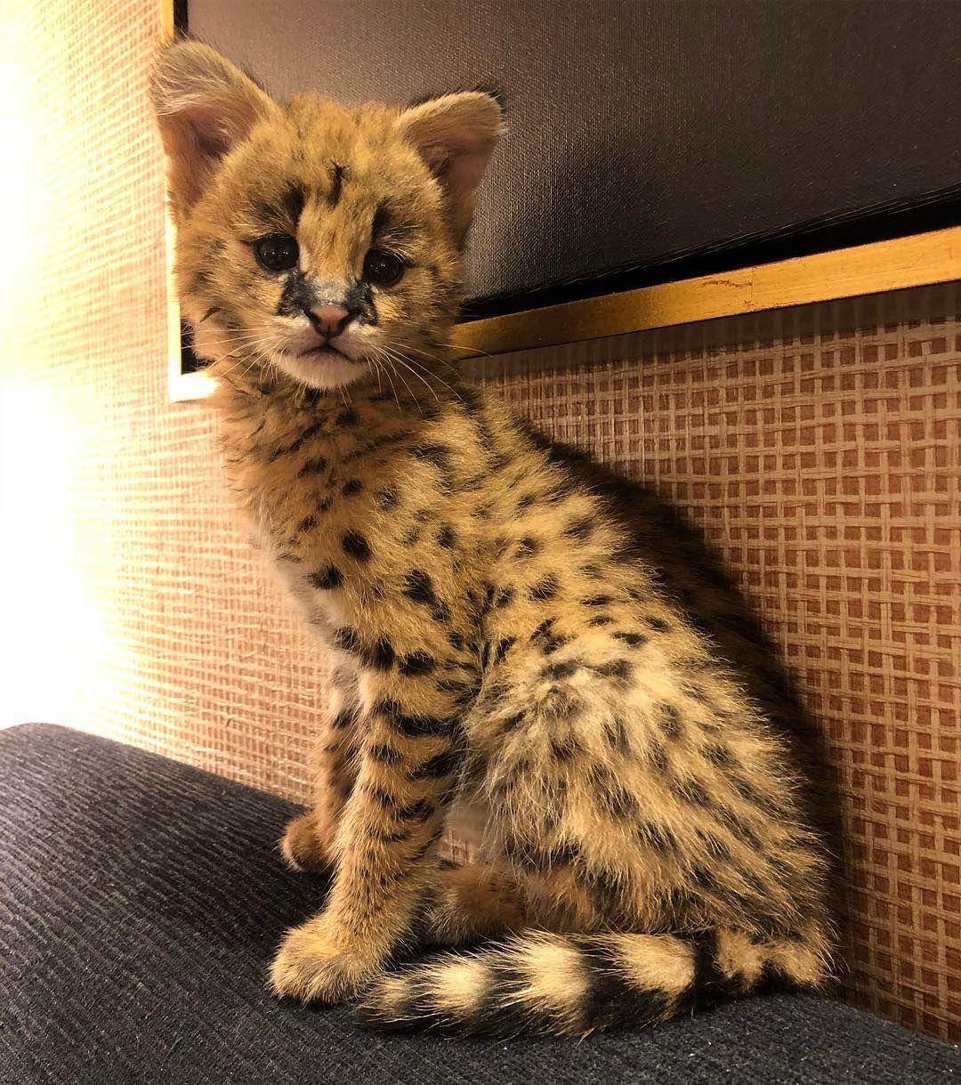Pin by yo_its dakii on animals Serval kitten, Pretty