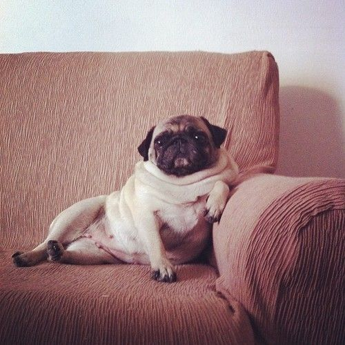 Couch Potato Pug Funny Pug Pictures Cute Pugs Baby Pugs