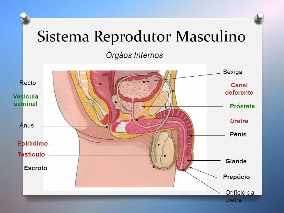 Resultado De Imagem Para Sistema Reprodutor Masculino Interno