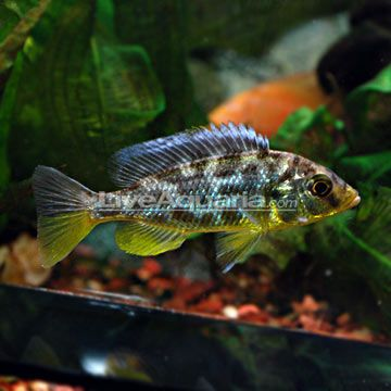 Venustus Cichlid Aquarium Fish African Cichlids Cichlids