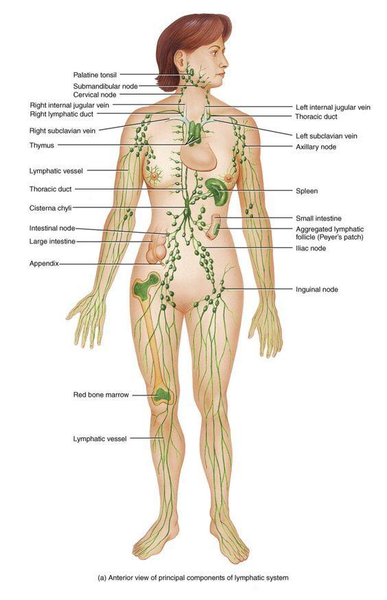 Lymphatic System! | Health | Pinterest | Lymphatic system, Immune ...