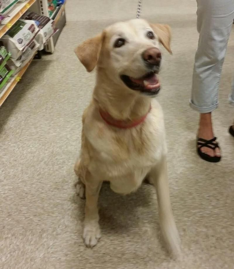 Adopt Mikey on Golden retriever labrador, Dogs golden