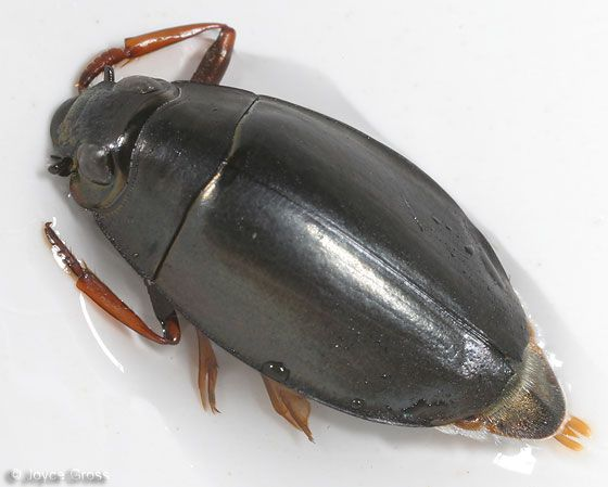 What does a whirligig beetle eat, and what eats it?