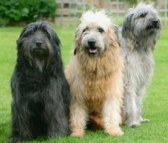 Home Northern Catalan Sheepdog Society Pet Breeds Dog Breeds Dog Sketch