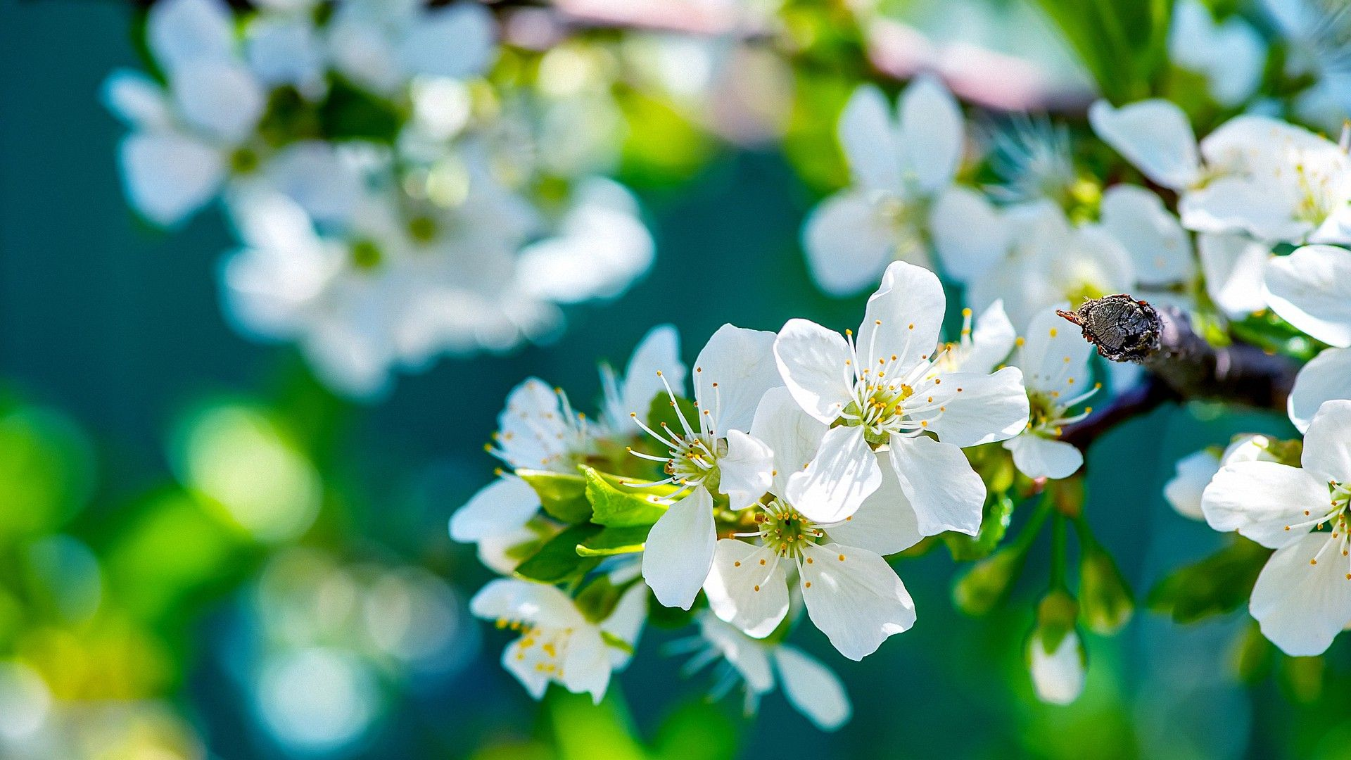 Blooming Nature Blossom Hd Wallpapers Apple Flowers Hd Flower Wallpaper Flower Wallpaper