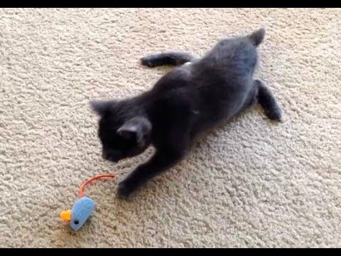 Kitten Speedo S Road Through Rehabilitation Day 1 Swimmer Syndrome Animaux