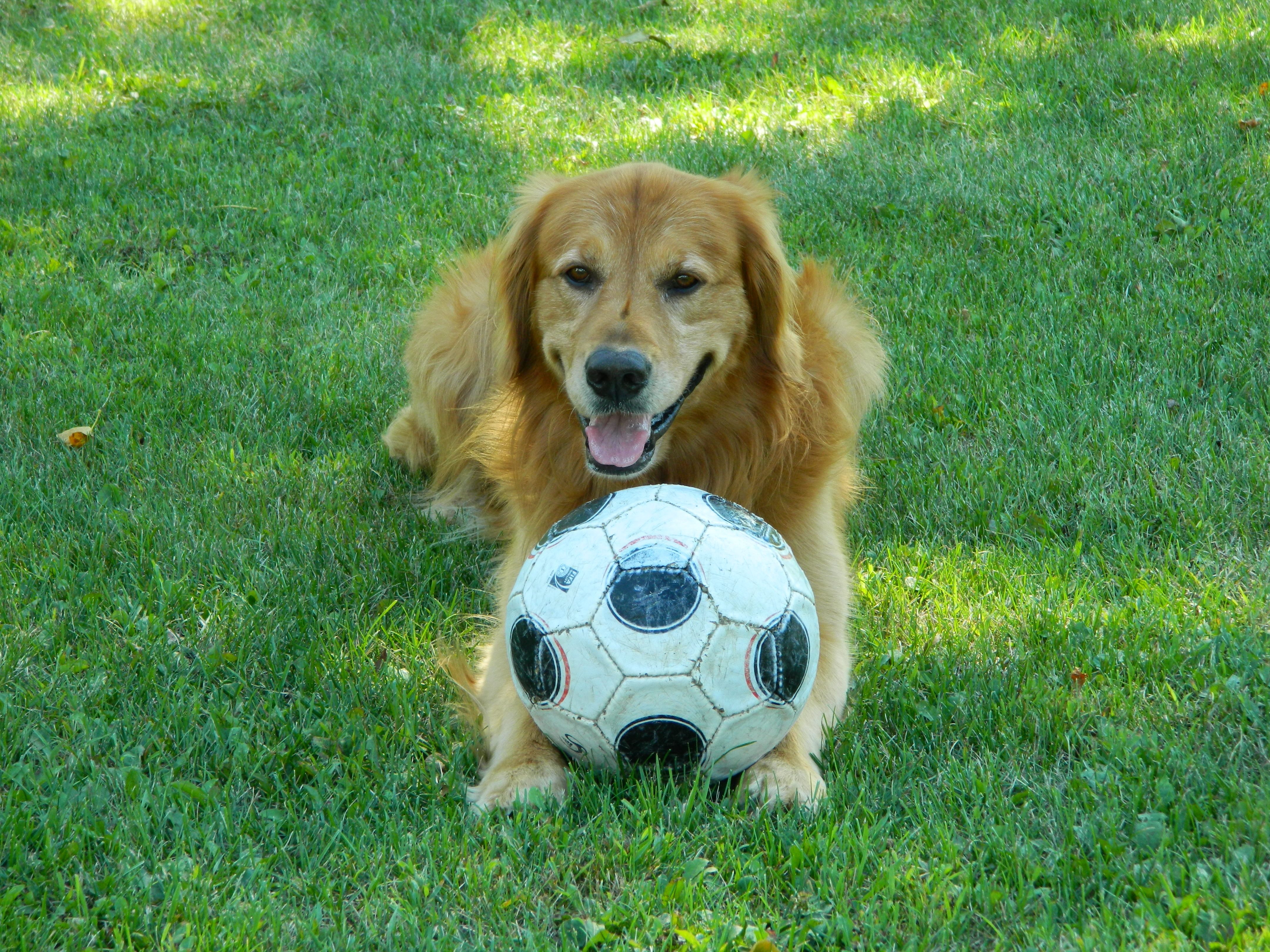 Our Soccer Dog Golden Retriever Dogs Retriever