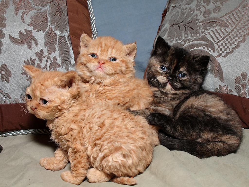 Selkirk Rex Chatons Photo Devon Rex Cats Fluffy Cat Breeds