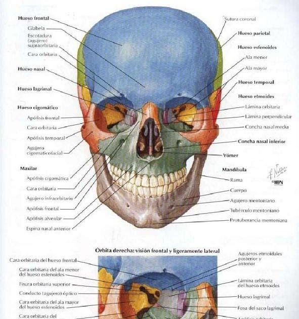 Bibliografia Atlas de Anatomia Humana de Frank H. Netter   Anatomía ...