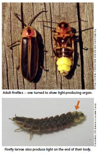 Lightning bugs/fireflies | Insects and Arthropods | Pinterest | Insectos