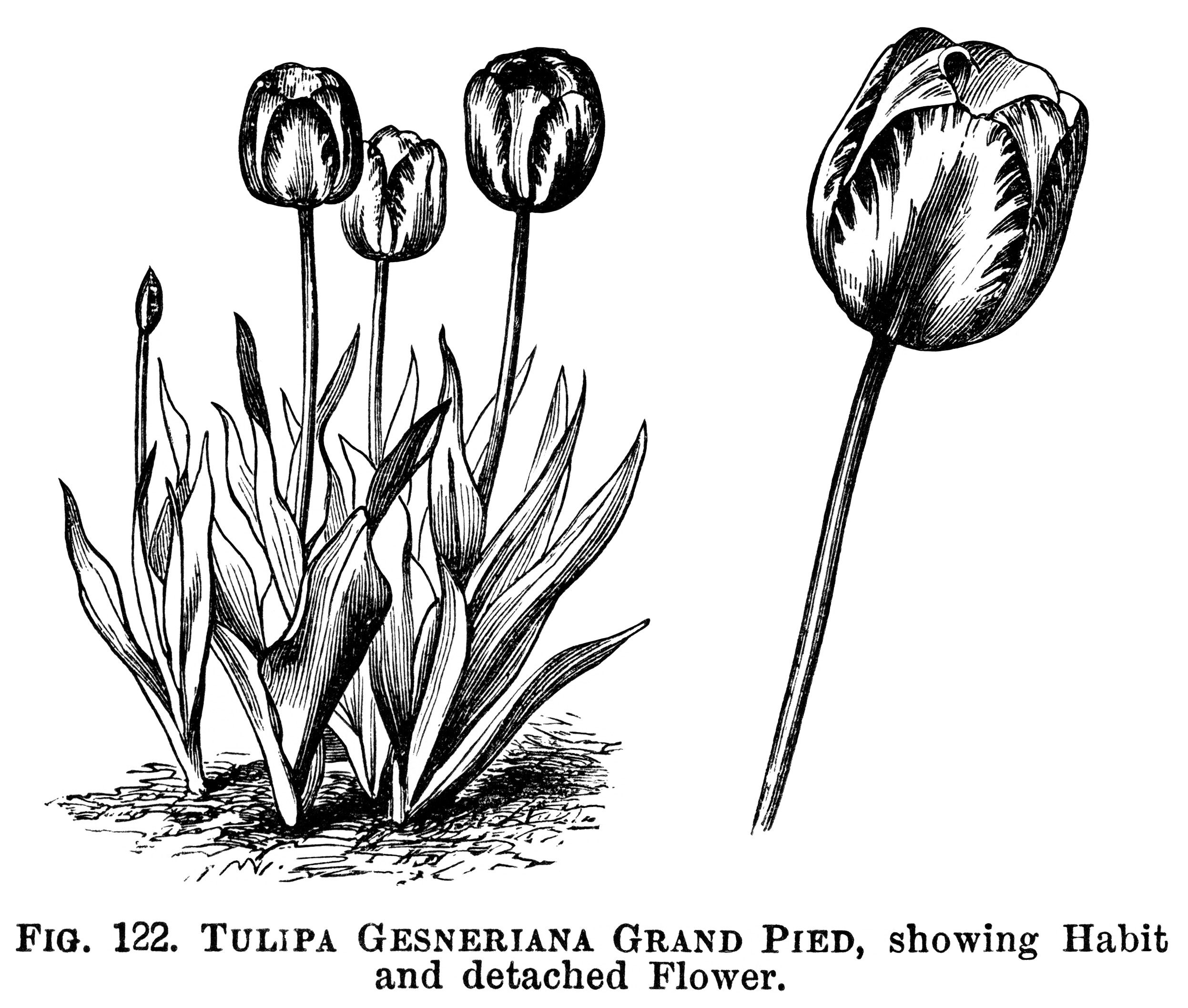 tulip clipart, black and white graphics, botanical flower