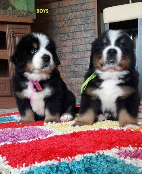 Bernese Mountain Dog Puppy For Sale In Lawrenceville Ga