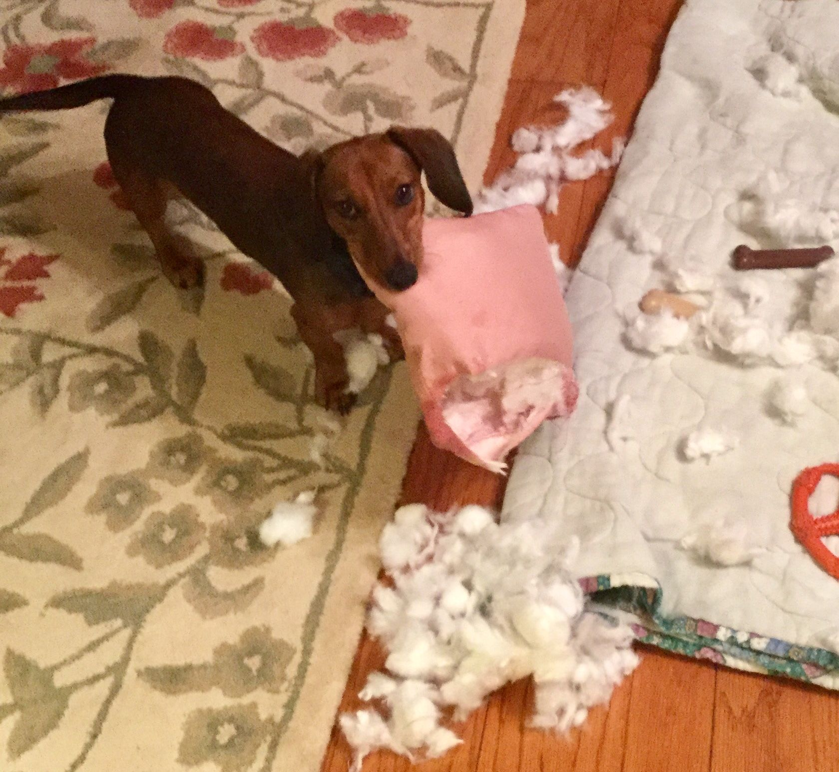 Dachshund Eats Pillow Weenie Dogs Wiener Dog Dachshund