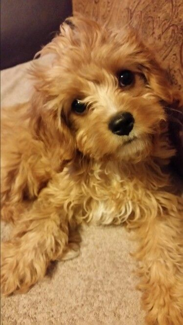 3 Month Old Apricot Cavapoo Love Her Cute Dog Pictures Cute Dog Mixes Cavapoo Puppies