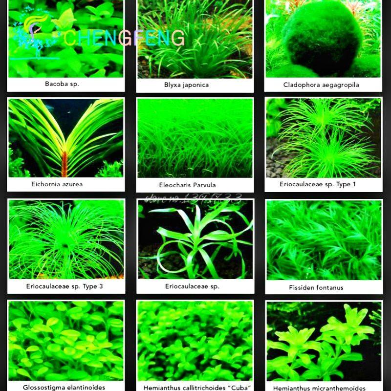 100pcs Aquarium Plants Bonsai Water Grasses Aquatic Plants Garden Free Shipping