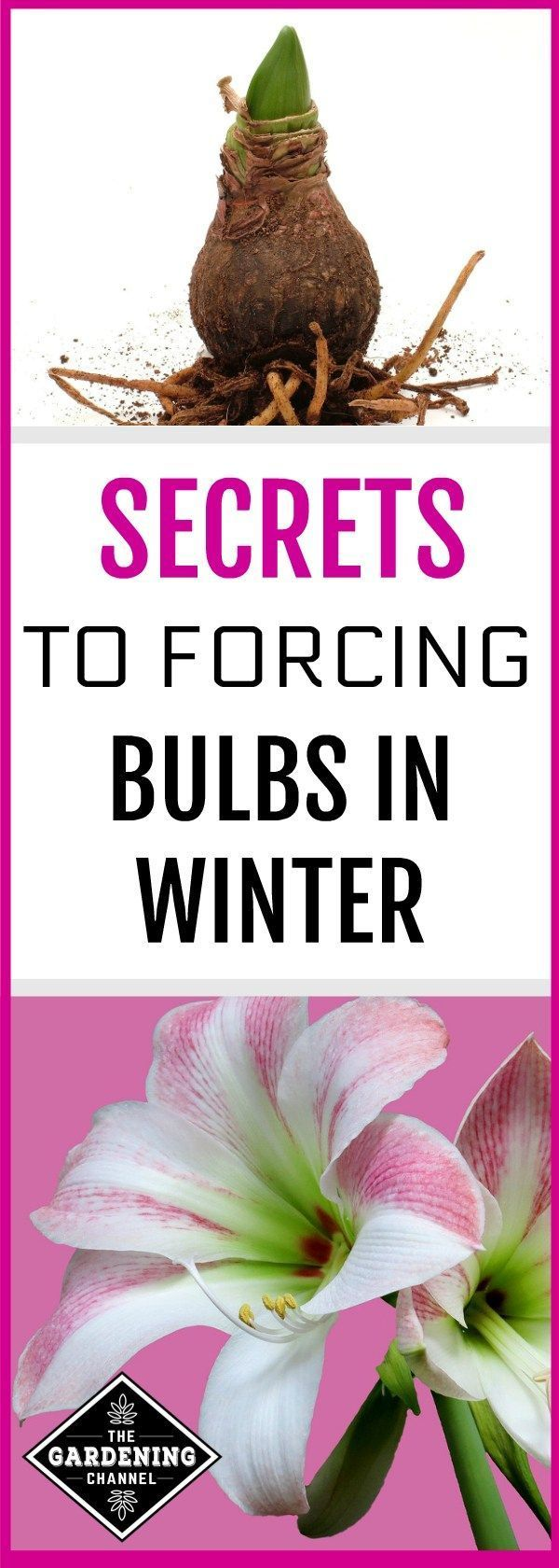 Force Bulbs in Winter Learn how to force bulbs in the dark of winter, creating a beautiful indoor flower garden. Forcing bulbs can be a little tricky, so don't miss this guide.Learn how to force bulbs in the dark of winter, creating a beautiful indoor flower garden. Forcing bulbs can be a little tricky, so don't miss this guide.
