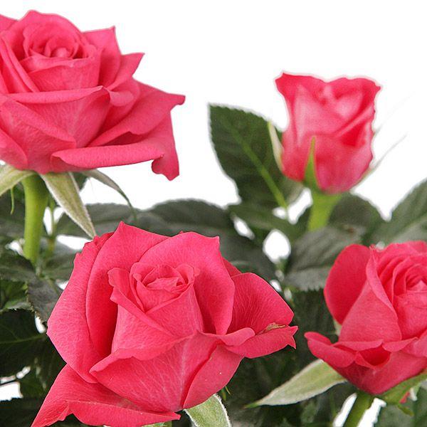 Rosey Lee Pink #flower #delivery #gift service UK #plantedroses #rosebasket #rosesdelivery #serenataflowers