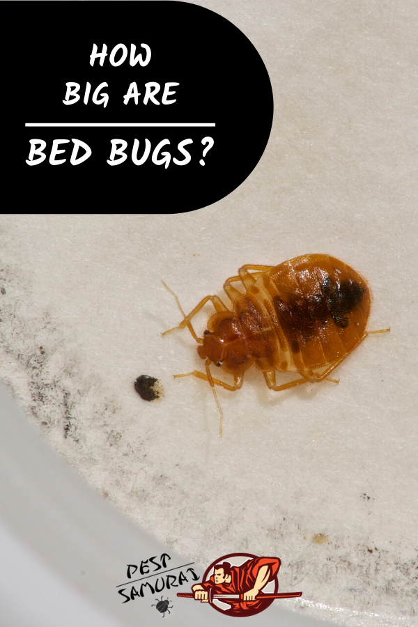 How Big Are Bed Bugs? A Helpful Size and Identification