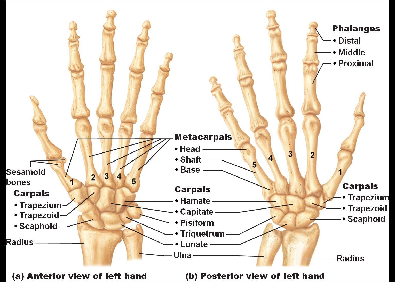 Bone Anatomy Of Hand And Wrist Hand And Wrist Bones Human Anatomy ...